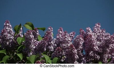 lilac blooms against the blue sky for an inscription