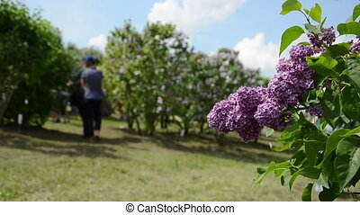 lilac blooms and people