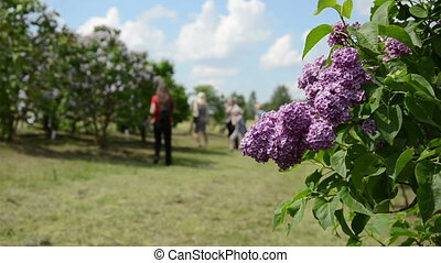 lilac blooms and tourists