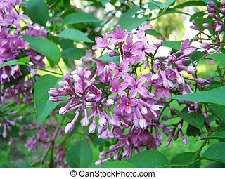 lilac blooms in the park
