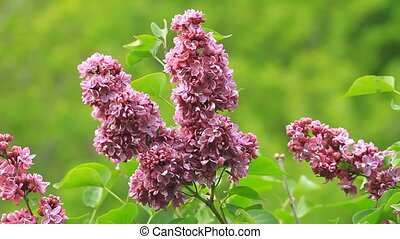 Lilac blossom flowers on the green background