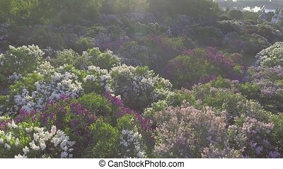 lilac blossom tree in spring garden, blooming lilac tree. Aerial view.