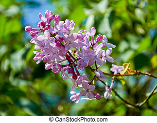 Lilac blossoming branches on the green background