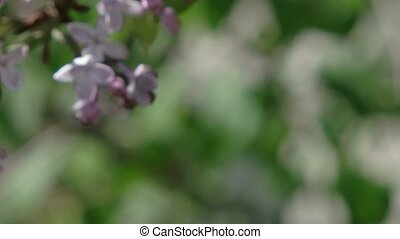 Lilac blossoming in the spring