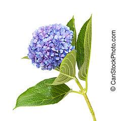 lilac-blue hydrangea isolated on white background