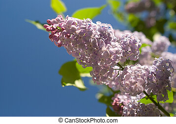 Lilac branch against the blue sky