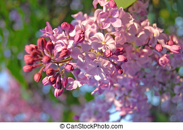lilac branch delicate pink blooms