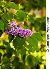 lilac branch on a background of foliage