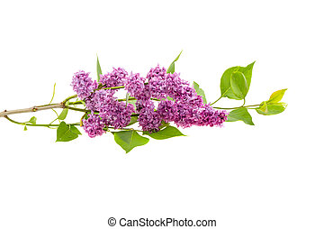 lilac branch on a white background, isolated