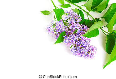 Lilac branch on white with empty space