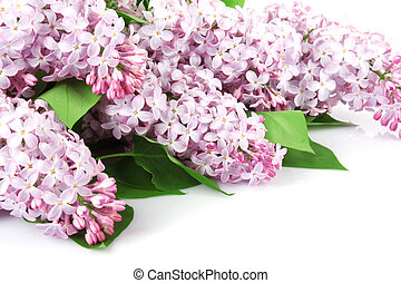 Lilac branch purple, flowers with green leaves on white...