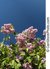 Lilac branches against blue sky
