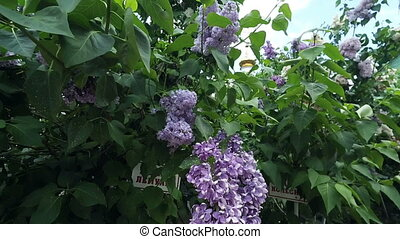 Lilac brunch - Lilac tree brunch with little flowers in the...
