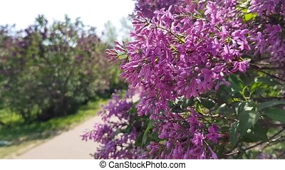 lilac bush blooms - blooming bush lilac lilac in the garden....