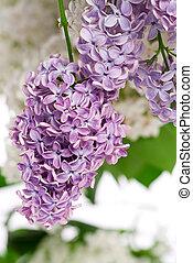 Lilac bush in the spring