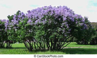Lilac bush on a wind