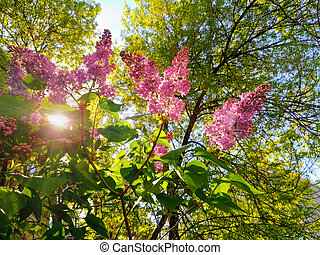 Lilac bushes in the sun.