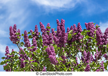 Lilac bushes on a sunny spring day against the blue sky