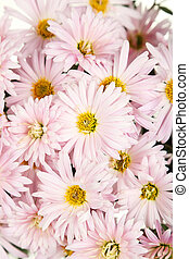 Lilac chrysanthemums background, autumn flowers