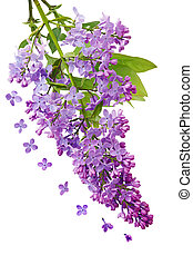Lilac Cluster - Cluster of lilac flowers isolated on white