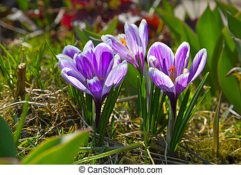 Lilac crocuses in spring garden.