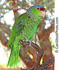Lilac-crowned Parrot 2