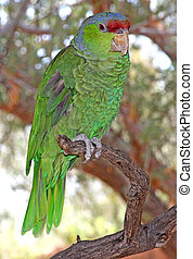 Lilac-crowned Parrot 3