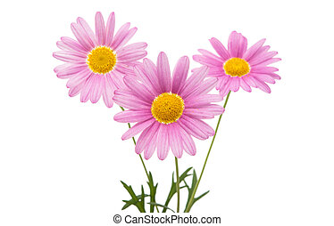 Lilac daisy isolated
