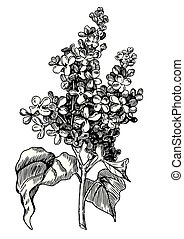 Lilac engraving - hand drawn pen and ink illustration.