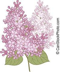 lilac., flores, vector, ilustración, design.