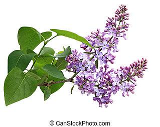 Lilac Flower Branch