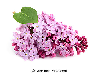 Lilac flower bunch with leaf isolated.