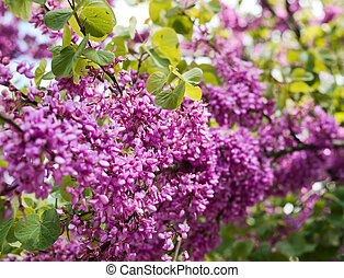Lilac flower close-up