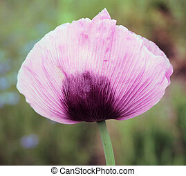 Lilac flower