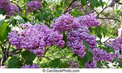 lilac flowering bush - blooming bush lilac lilac in the...