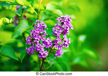 Lilac flowers and leaves