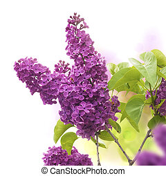 lilac flowers in spring - border of a page, purple and green colors