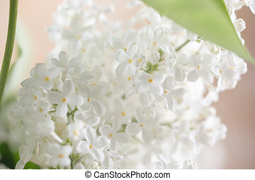 Lilac flowers of white color. Close-up.