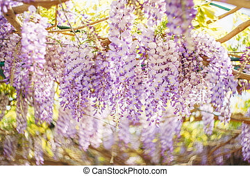 Lilac flowers of wisteria close-up on the arch.