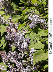 Lilac flowers on a background of green foliage on a sunny day.