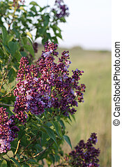 Lilac flowers on a background of th