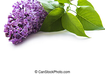 Lilac flowers on a white background - Branches and flowers ...