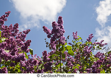 Lilac flowers on blue sky background