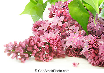 lilac flowers over white