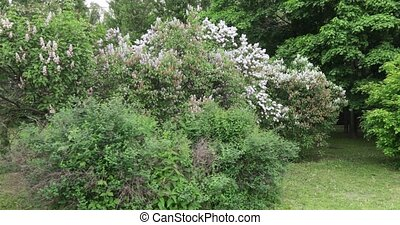 Lilac garden in Moscow - Spring flowering trees in the...