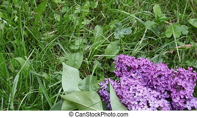 Lilac in green grass