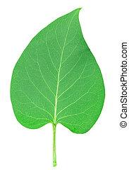 lilac leaf