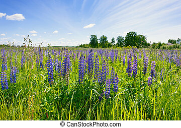 Lilac lupines in a green grass against the background of the...