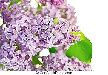 Lilac lush