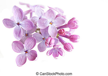 Macro of lilac blossom isolated on white background